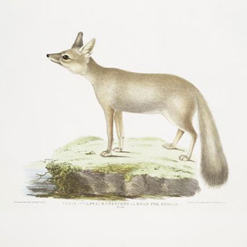 Renard femelle © NY Public Library, digital collections