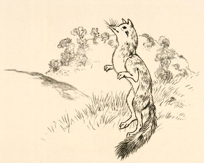 Un renard sur ses pattes arrières, par Félix Bracquemond © NY Public Library, digital collections