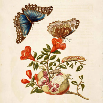 Maria Sybilla Merian, Metamorphosis insectorum Surinamensium, planche IX © Linda Hall Library Digital Collections