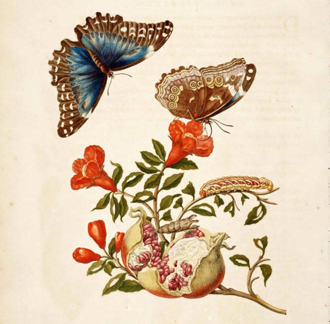 Maria Sybilla Merian, Metamorphosis insectorum Surinamensium, planche IX © Linda Hall Library Digital Collections