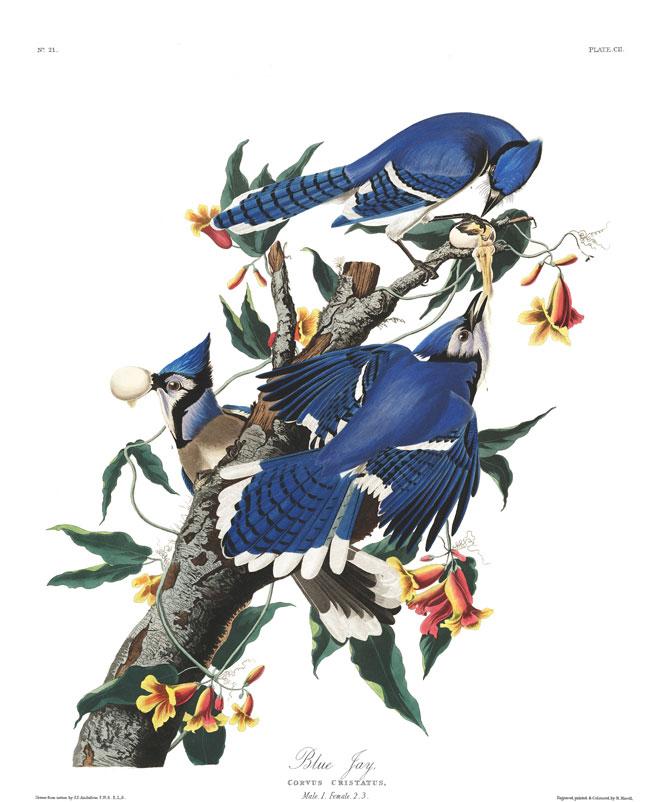 J.J. Audubon, Geai bleu, 1838 © Birds of America